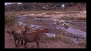 CLASH of the CLANS! Rival HYENAS compete over KILL. EPIC AUDIO