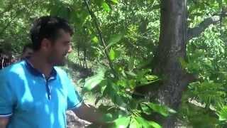 kestane yetiştiriciliği kestane ziraatı kestane tarımı kestane üretimi
