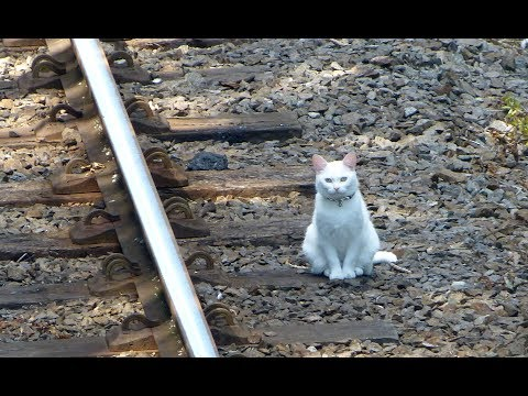 Great Central Railway. The White Cat.