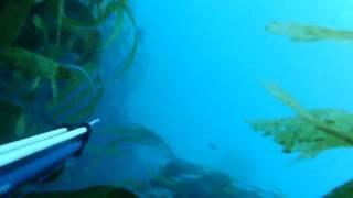 Pescasub en Galicia. sargos y lubinas pequeñas