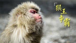 《猴王争霸》太行猕猴的王位之争 | CCTV纪录
