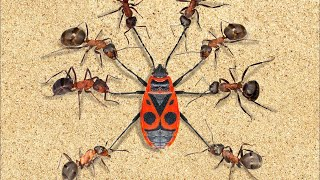 Mrówki. Najbardziej Zaawansowani Wojownicy Na Świecie