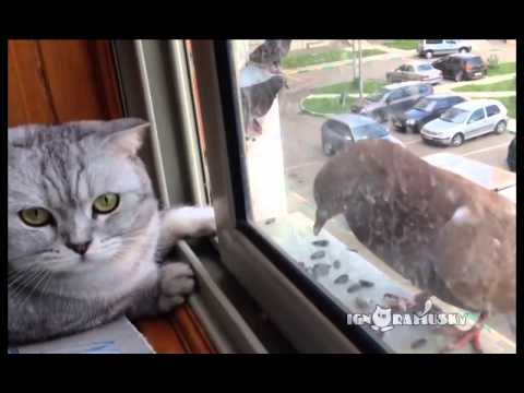 Leniwy kot i głodny gołąb