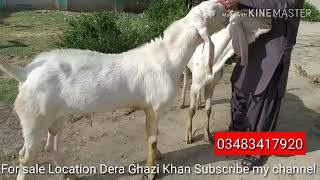 Goat Kids Olx Lahore