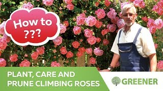 How to plant, care and prune climbing roses? - all about climbing roses