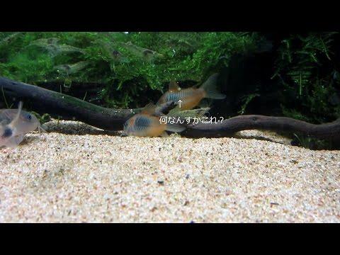 【Aquarium】#004:コリドラスの産卵と病気
