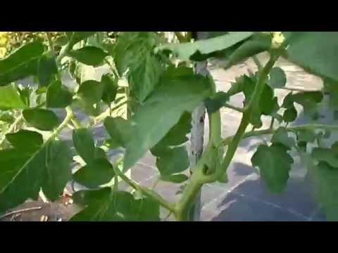 Κλάδεμα ντομάτας και δέσιμο στον πάσσαλο στήριξης