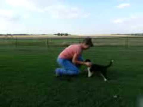 Collie Female Available