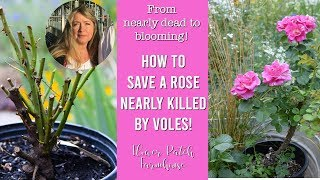 Roses: Save a Dying Rose Bush Plant (easy and effective)!