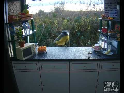 Blue Tit & Great Tit