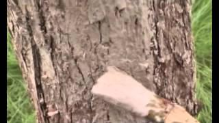 Смотреть онлайн Правильная побелка дерева осенью