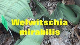 The Plant Traveller: Welwitschia mirabilis  Namib Desert