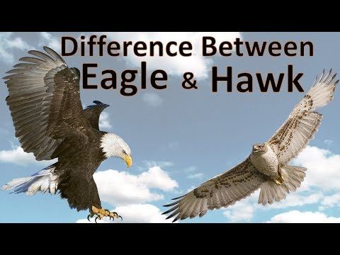 Difference Between Eagle and Hawk | Hawk vs Eagle | Comparison