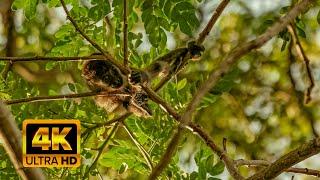 Howler Monkeys in Costa Rica Rainforest. 🐒