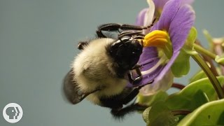 This Vibrating Bumblebee Unlocks A Flowers Hidden Treasure |  Deep Look