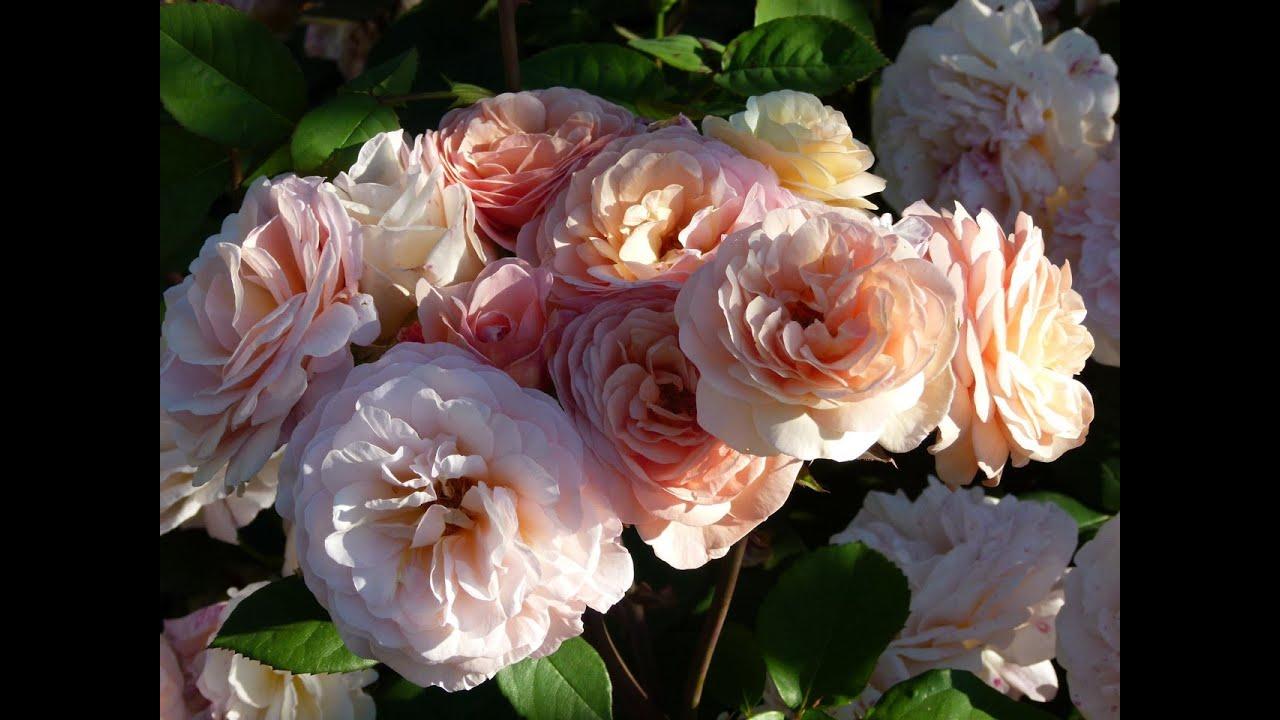 Розы. Цветение розы Чарльза Остина .