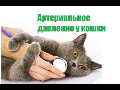 Артериальное Давление У Кошки & Повышенное И Пониженное Давление У Кошки. Ветклиника Био-Вет