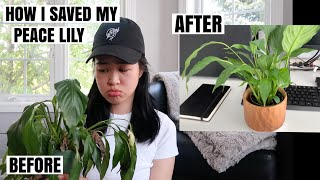 PLANT HAUL & CARE: How to save a Peace Lily & Money Tree Repotting (its easy to be a good plant mom)