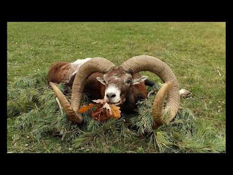 Ulovený muflon