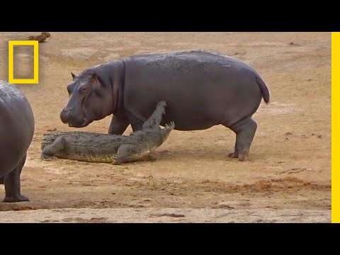Watch What Happens When a Hippo Gets Playful With a Croc