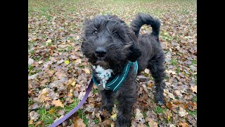 Freddie the 5 month old Sproodle Puppy - 3 Weeks Intensive Collect & Train Course