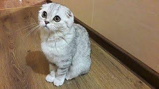 ???? Купили Котенка 4 мес. 1 День в Новом Доме ???? Шотландская Вислоухая Кошка Хлоя КОТЫ И КОШКИ