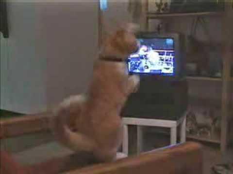 貓咪看電視練拳擊