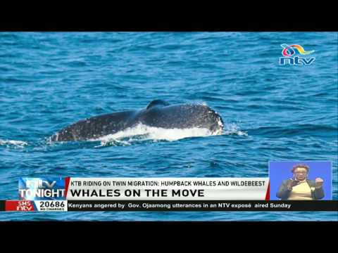Humpback whale migration season in Watamu is almost over