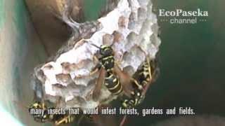 Осы глазами пчел и пчеловода