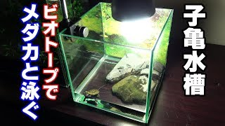【拾った子亀を育てる】イシガメではない!?ビオトープでお散歩【カメ水槽④】
