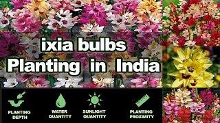 Winter flower bulbs / Ixia Planting Guide / South African Flower Bulbs
