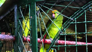 preview picture of video 'Talking Parrots in Guyana Zoo'