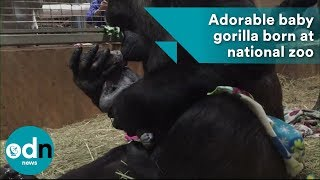 Adorable baby gorilla born at national zoo