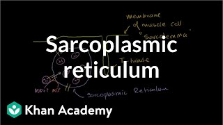 Role of the Sarcoplasmic Reticulum in Muscle Cells