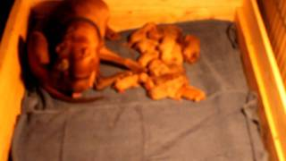 Lola Done giving birth to 16 puppies (Hmong Pitbull)
