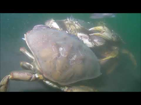 Dungeness Crab U/W Research