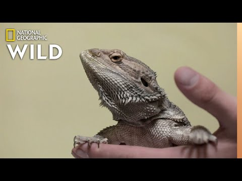 A Bearded Dragon With Bone Disease | The Wild Life of Dr. Ole