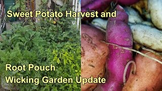 Sweet Potato Harvest & Wicking Root Pouch Garden Update. Feb 2016