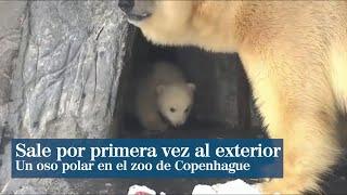 Un osito polar sale por primera vez al exterior en el zoo de Copenhage