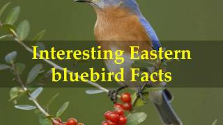 Interesting Eastern bluebird Facts