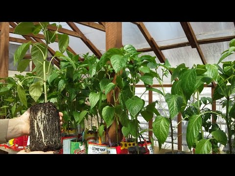 Как посадить перец Чем заправить лункиКакая должна быть рассада при высадке в теплицу
