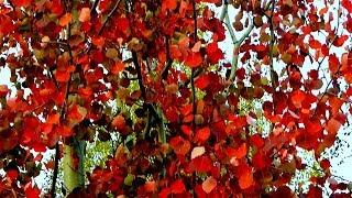 Осень. Красная Осина. Осенние Видео. Красные Осенние Листья Осины. Футажи для видеомонтажа