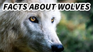 Grey Wolf facts: the ancestor's of man's best friend | Animal Fact Files