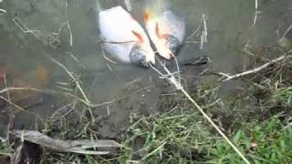 preview picture of video 'Fendi dapat ikan PACHU di Karnival Memancing MPSJ 2010'