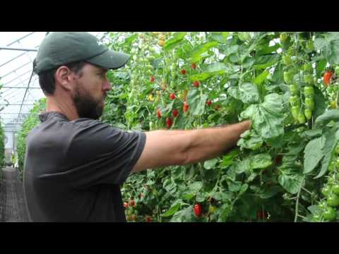 , title : 'How to Prune Greenhouse Tomatoes