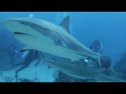 Best of Shark Diving - Jardines de la Reina - Cuba, Jardines de la Reina,Kuba