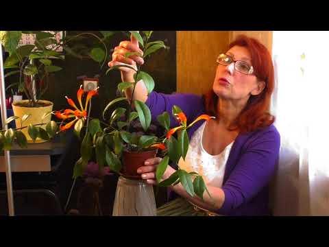 Эсхининтус уход и размножение. Комнатные растения.