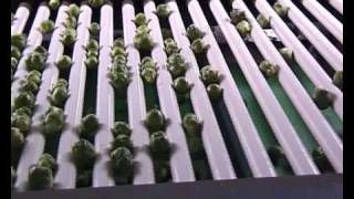 Kerian Brussel Sprout Grader sorting Brussel Sprouts by Size