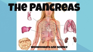 Pancreas function and location