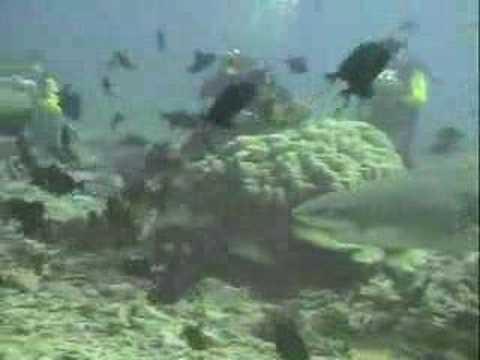 Zitronenhai, Moorea verschiedene Tauchplätze,Französisch-Polynesien